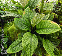 Culcasia mannii, Aglaonema mannii   Click to see full-size image