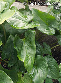 Cyanastrum cordifolium, Cyanastrum  Click to see full-size image