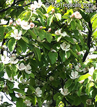 Cydonia oblonga, Quince  Click to see full-size image