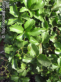 Cyphostemma cirrhosum, Tree Grape  Click to see full-size image