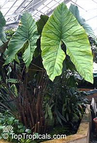 Cyrtosperma johnstonii - Arbi  Click to see full-size image