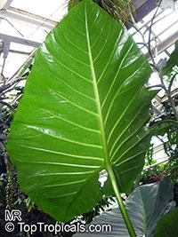 Cyrtosperma merkusii, Pulaka, Swamp Taro, Giant Swamp Taro  Click to see full-size image