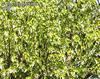 Davidia involucrata, Dove Tree, Ghost Tree, Handkerchief Tree  Click to see full-size image