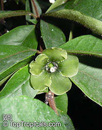Deherainia smaragdina, Emerald Flower  Click to see full-size image