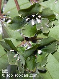 Deherainia smaragdina, Emerald Flower  Click to see full-size image