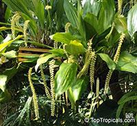 Dendrochilum latifolium, Large-leafed Dendrochilum  Click to see full-size image