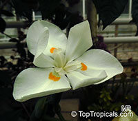 Dietes robinsoniana, Lord Howe Wedding Lily  Click to see full-size image