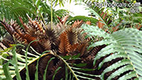 Drynaria willdenowii, Polypodium willdenowii, Basket Fern  Click to see full-size image