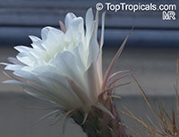 Echinopsis candicans, Cereus candicans, Trichocereus candicans, Argentine Giant  Click to see full-size image