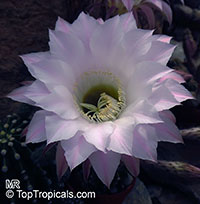 Echinopsis sp., Hedgehog Cactus  Click to see full-size image