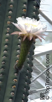 Echinopsis terscheckii, Trichocereus terscheckii, Cardon Grande Cactus, Argentine Saguaro  Click to see full-size image
