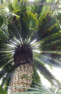 Encephalartos sp., Bread Palms, Bread Tree, Kaffir Bread  Click to see full-size image