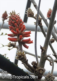 Erythrina decora, Namib Coral Tree  Click to see full-size image