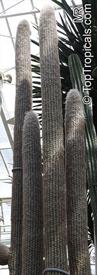 Espostoa sp., Espostoa  Click to see full-size image