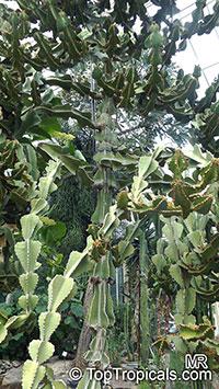 Euphorbia cooperi, Transvaal Candelabra Tree, Bushveld Candelabra Euphorbia  Click to see full-size image