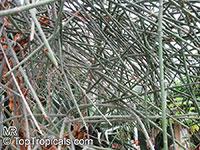 Euphorbia espinosa, Euphorbia gynophora, Euphorbia nodosa, Woody Euphorbia  Click to see full-size image
