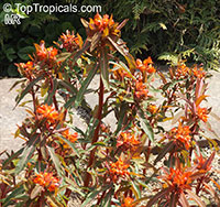 Euphorbia griffithii, Griffith's Spurge, Spurge 'Fireglow'   Click to see full-size image