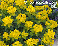 Euphorbia epithymoides, Euphorbia polychroma, Cushion Spurge  Click to see full-size image