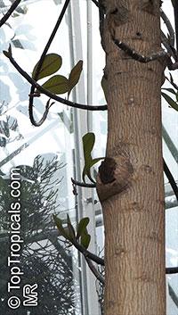 Euphorbia umbellata, Synadenium compactum, Synadenium grantii, Euphorbia bicompacta var.rubrafolia, African Milk Bush  Click to see full-size image