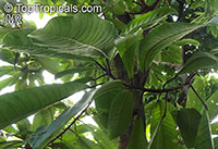 Ficus saussureana, Ficus afzelii, Ficus eriobotryoides, Ficus princeps, Loquat Leaf Fig  Click to see full-size image