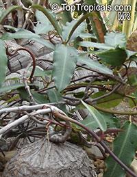 Fockea angustifolia, Fockea tugelensis, Fockea  Click to see full-size image