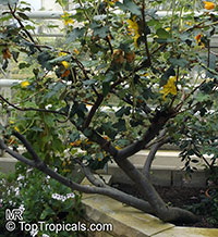 Fremontodendron californicum, California Flannelbush, California Fremontia  Click to see full-size image