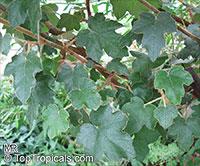 Fremontodendron californicum, California Flannelbush, California Fremontia  Click to see full-size image