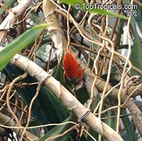 Freycinetia funicularis, Flowering Pandanus, Climbing Pandanus  Click to see full-size image
