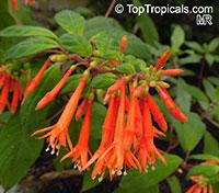 Fuchsia abrupta, Fuchsia  Click to see full-size image