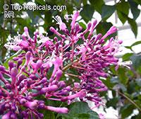 Fuchsia arborescens, Lilac Fuchsia  Click to see full-size image