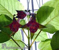 Fuchsia fulgens, Fuchsia  Click to see full-size image