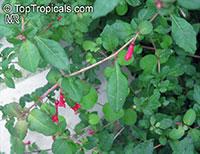 Fuchsia microphylla, Fuchsia  Click to see full-size image