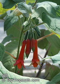 Fuchsia splendens, Fuchsia cordifolia, Fuchsia  Click to see full-size image