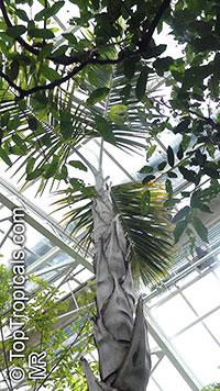 Gaussia maya, Opsiandra maya, Maya Palm  Click to see full-size image