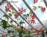 Gloriosa sp., Glory Lily, Climbing Lily, Flame Lily  Click to see full-size image