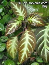 Gloxinella lindeniana, Gloxinia lindeniana, Kohleria lindeniana, Gloxinella  Click to see full-size image
