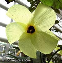 Gossypium arboreum, Tree Cotton  Click to see full-size image