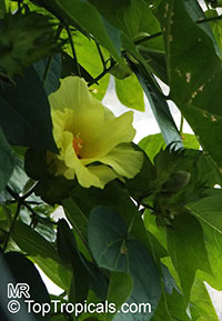 Gossypium barbadense, Gossypium peruvianum , Pima cotton  Click to see full-size image