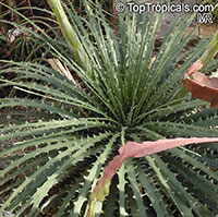 Hechtia sp., False Agave  Click to see full-size image