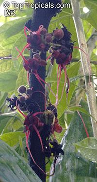 Herrania nitida, Theobroma nitidum, Monkey Cocoa  Click to see full-size image