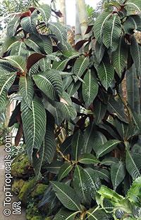 Hoffmannia ghiesbreghtii, Campylobotrys ghiesbreghtii, Taffeta Plant, Strawberry Splash  Click to see full-size image