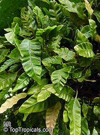 Humata heterophylla, Davallia heterophylla, Humata  Click to see full-size image