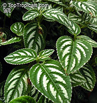 Impatiens marianae, Touch-me-not  Click to see full-size image