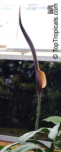 Lasia spinosa, Dracontium spinosum, Lasia, Kohila  Click to see full-size image