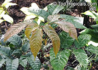 Leea guineensis, Leea  Click to see full-size image