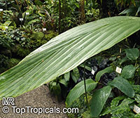Ludovia lancifolia, Carludovica lancifolia, Carludovica disticha, Ludovia  Click to see full-size image