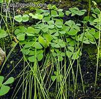 Marsilea hirsuta, Waterclover  Click to see full-size image