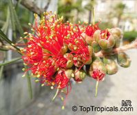 Melaleuca rugulosa, Callistemon macropunctatus, Callistemon rugulosus , Scarlet Bottlebrush  Click to see full-size image