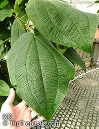 Miconia macrodon, Miconia, Velvet Tree  Click to see full-size image