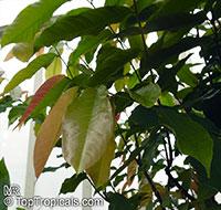 Monodora sp., Monodora, Calabash Nutmeg  Click to see full-size image